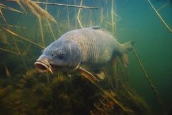 wild carp under water