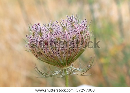 wild carrot daucus carota flower in balearic islands summer