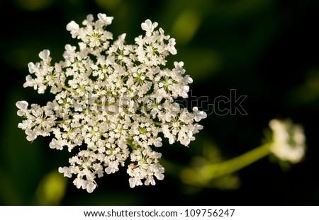 Wild Carrot Flower / Daucus Carota