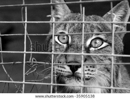 wild cat behind the bars