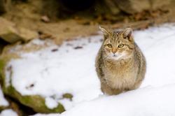 Wild cat (Felis silvestris) in the snow - Portrait