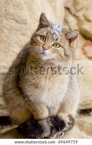 Wild cat (Felis silvestris) in the snow - Portrait - stock photo