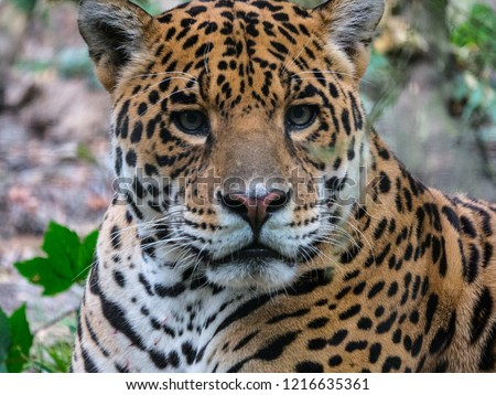 Wild cat jaguar #1216635361