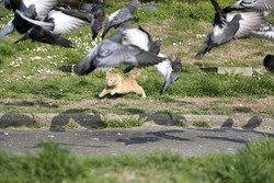 Wild cat trying to catch flock pigeons at park