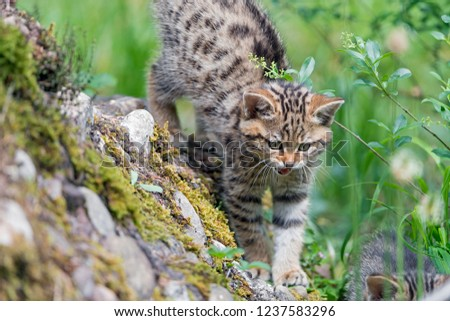 Wild cats and Love