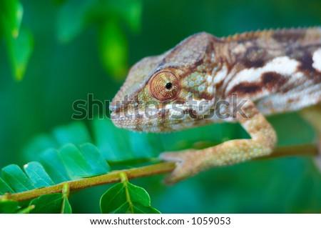 Chameleon selvagem, Madagascar