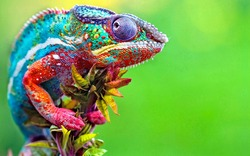 Wild Chameleon Reptile With Beautiful Colors