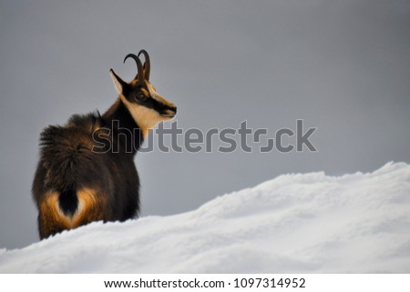 Wild chamois feels comfortable even in freezing winter days high in the mountains.