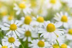 Wild Chamomile flowers growing on meadow. Close up of wild herbal flowers.