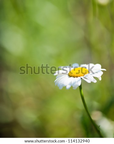 Wild chamomile on a meadow.