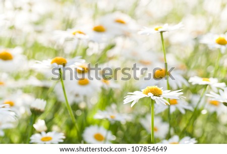 Wild chamomile on a meadow. Photo with shallow depth of field