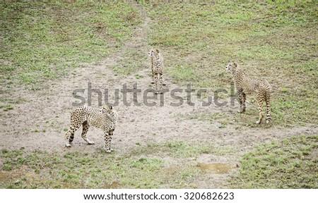 Wild cheetah detail feline in nature, wild predators