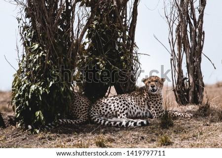 Wild Cheetah in masai mara national park #1419797711