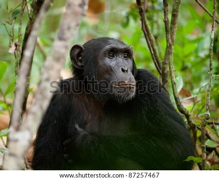 Wild Chimpanzee ( Pan troglodytes )  portrait in the jungle. Uganda