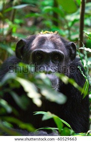 wild chimpanzees in Kibale, Uganda