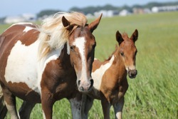 Wild Chincoteague Ponies of Assateague Island. Paint and pinto ponies out in the marsh on Assateague Island on the Virginia side.