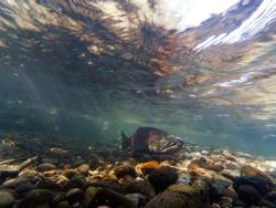 Wild Chinook Salmon Spawning In The Cedar River