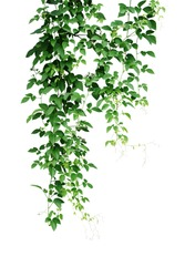 Wild climbing vine ivy jungle plant, Bush grape or Cayratia trifolia (Linn.) Domin. liana plant isolated on white background, clipping path included. Hanging bush of jungle vines.
