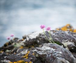 Wild coastal flowers growing on rocks on the shore of Loch Fyne.