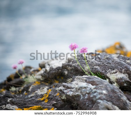 Wild coastal flowers growing on rocks on the shore of Loch Fyne. #752996908