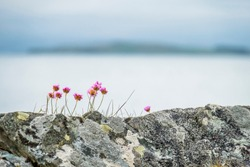 Wild coastal flowers growing on rocks on the shores in Scotland