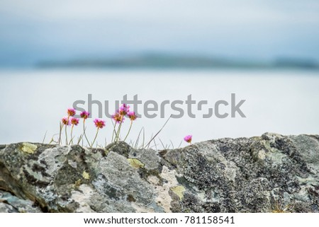 Wild coastal flowers growing on rocks on the shores in Scotland #781158541