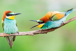 wild colorful birds in conflict