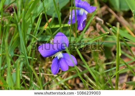 Wild common blue violets background