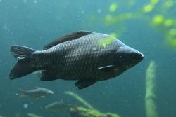 Wild common carp (Cyprinus carpio). Wildlife animal.