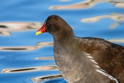 Wild common moorhen close-up portrait. Black wading bird waterhen or swamp chicken with red eyes and bill with blue water in the background.