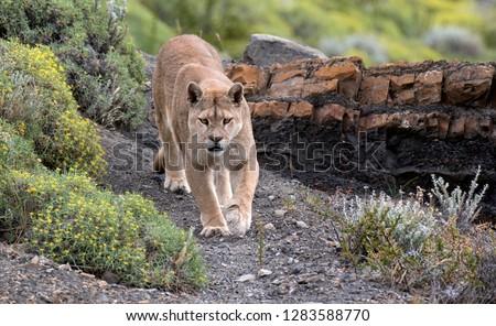 7e350b371f150 Wild Cougar (Puma concolor concolor) in Torres del Paine national park in  Chile.