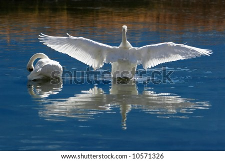 Wild, Courting or Mating Trumpeter Swans