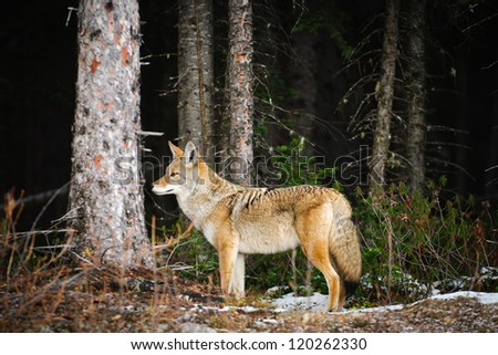 Wild Coyote in a snow covered forest, Kananaskis Country, Alberta Canada