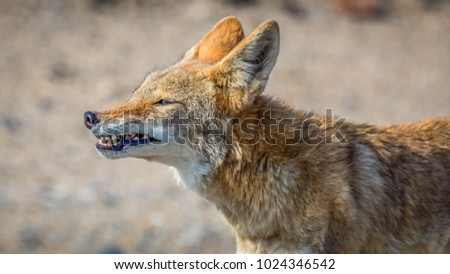 Wild Coyote in the Death Valley