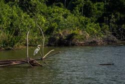 Wild crane in Cocha Salvador in Manu National Park, Peru