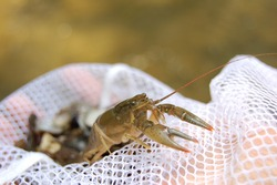 wild crayfish in a net