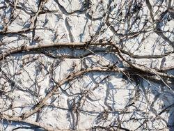 Wild creeper vine climbing on concrete wall background