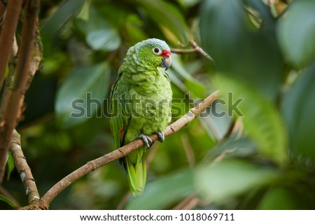 Wild Crimson-fronted or Finsch's Parakeet, neotropical green parrot with red cap, natural to Nicaragua, Costa Rica and western Panama, perched on twig among leaves in rainforest.  Wild animal.