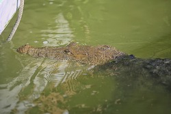 wild crocodile in the river, alligator in the swamp, wildlife predator head