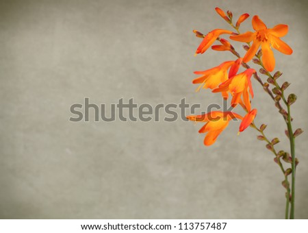 Wild crocosmia flowers on vintage background