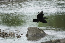 wild crow is in flight