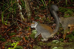 Wild crowned lemurs in a Madagascar forest