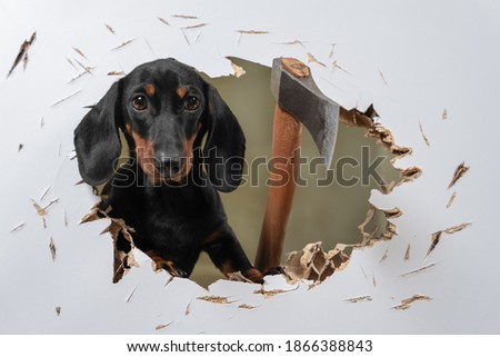 Wild dachshund puppy cut hole in door or wall with axe and sticks out trying to get inside and chase his victim like in horror movie. Creepy scene with a pet maniac. fear of buying a puppy. Сток-фото ©