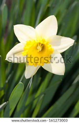 wild daffodil or Lent lily (Narcissus pseudonarcissus)  is a perennial flowering plant