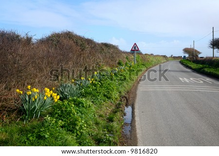 Wild daffodils growing beside a country road in Cornwall, UK.