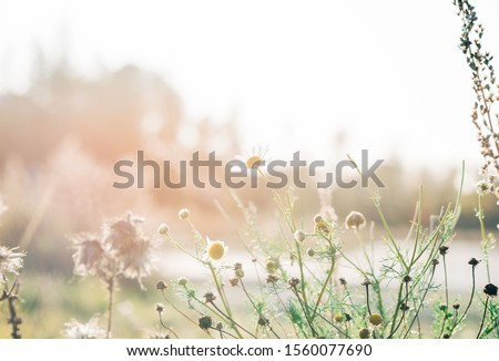 wild daisies in a field of wild flowers at sunset