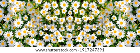 Wild daisy flowers growing on meadow, white chamomiles on green grass background. Oxeye daisy, Leucanthemum vulgare, Daisies, Dox-eye, Common daisy, Dog daisy, Gardening concept.