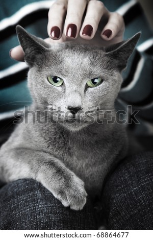 Wild dangerous cat sitting on the human knees and hand stroking