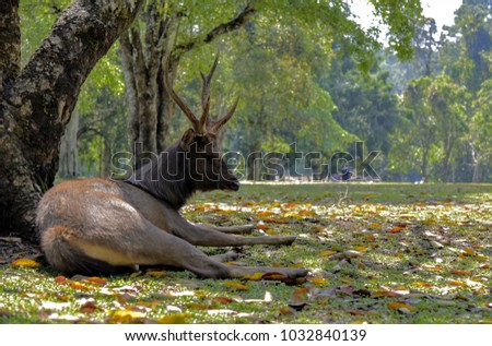Wild dear lay down on meadow in National Park  ,Thailand. #1032840139