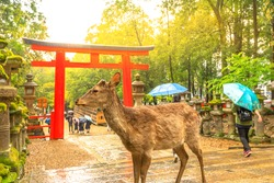 Wild deer in Nara Park at sunset light, Japan. Deer are symbol of Nara's greatest tourist attraction. On background, red Torii gate of Kasuga Taisha Shine one of the most popular temples in Nara City.